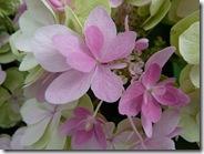 portmore hydrangea paniculata