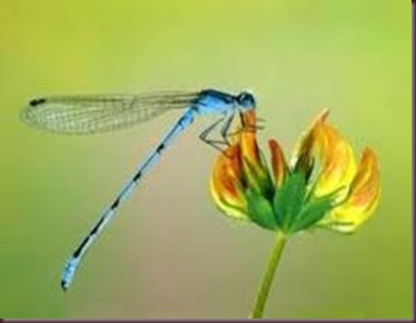 Amazing Pictures of Animals, photo Nature, exotic, funny ,incredibel Zoo, Dragonfly, Insecta, Alex (9)