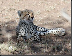 October 18 2012 cheetah cub