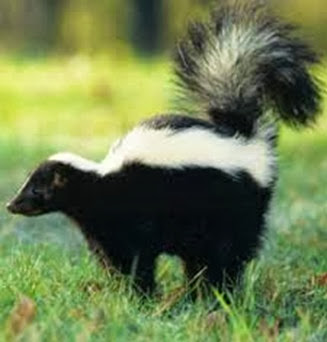 Amazing Pictures of Animals, Photo, Nature, Incredibel, Funny, Zoo, Skunks, Polecats, Mammals, Alex (18)
