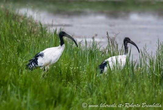 17_Ibis sacro (33)