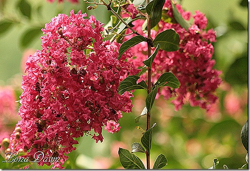 CrapeMyrtle_bloom