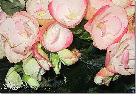 Begonias_Pink