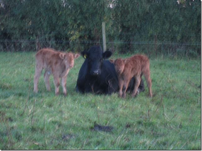 baby calves and birr 006