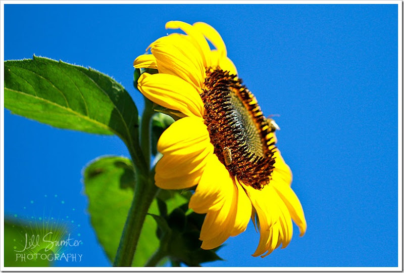 sunflower-5535