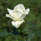 angkorsite_flower_1 (101).jpg