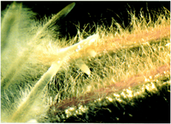 Hairy root formation by Agrobacterium rhizhogenes