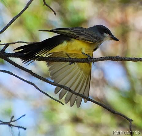 1. Cassin's Kingbird-kab