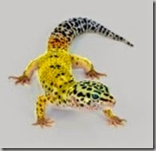 yellow-leopard-gecko