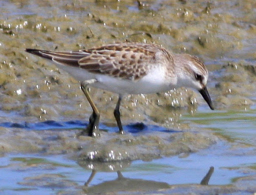 8-22-09, Minor Clark Fish Hatchery, juvenile Semipalmated Sandpiper