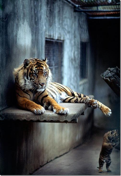Wildlifephotographytiger5_thumb1