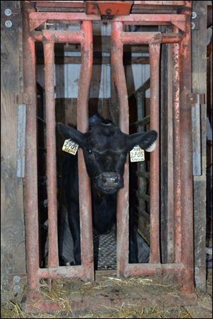 calf 5 in headgate