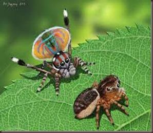 Amazing Pictures of Animals, photo, Nature ,exotic, funny, incredibel, Zoo, Maratus volans,  Peacock spider or Gliding spider, Alex (20)