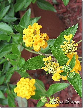 Lantana_Yellow