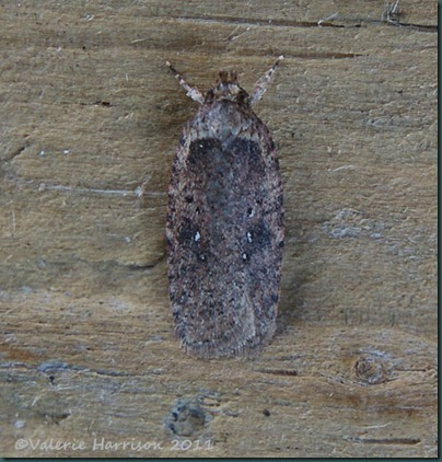 agonopterix heracliana or ciliella-4