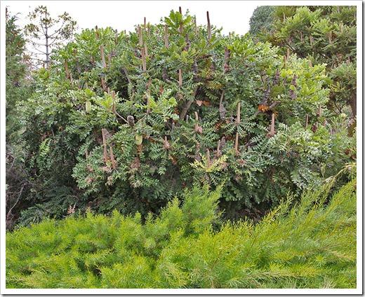 111015_Santa-Cruz_UCSCA_Banksia-grandis_04