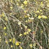 Jasmin d'hiver Jasminum nudiflorum