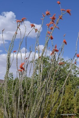 More Ocotillo - I love these plants!