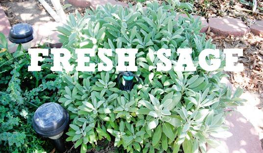 FRESH SAGE PLANT
