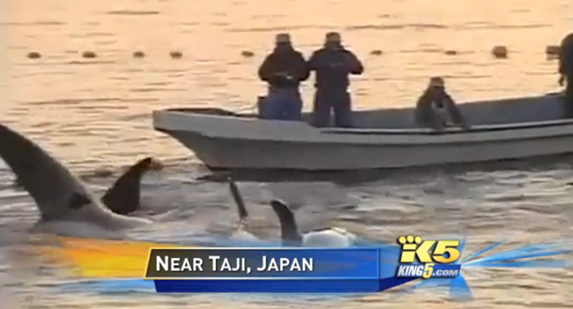 Orcas being captured by fishermen near Taiji, Japan. These orcas may have been bound for the Sochi Olympics. Photo: KING 5 News
