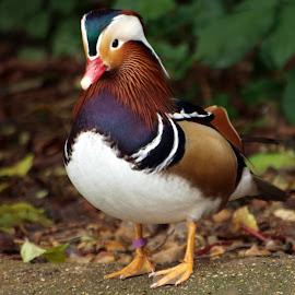 Waterside duck by Garry Chisholm - Animals Birds ( garry chisholm, nature, mandarin, duck, wildlife )