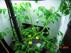 6 week cherry tomato, blooming and set first fruits - way early