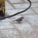 Gorrion comun ,Gorrión de casa , House sparrow