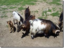2012.06.02-009 chèvres