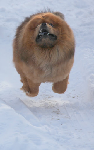 Chow Chows were once revered as the great imperial guard dogs to the grandest emperors of China.  We can be fierce, when needed!