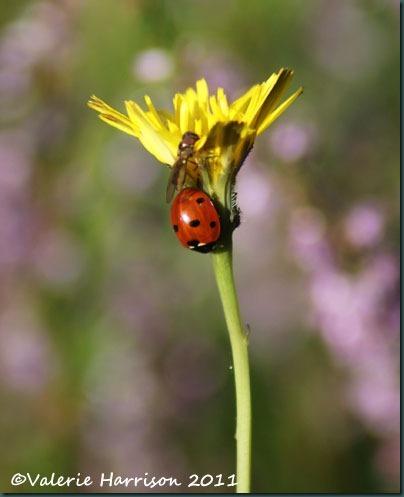 28-ladybird