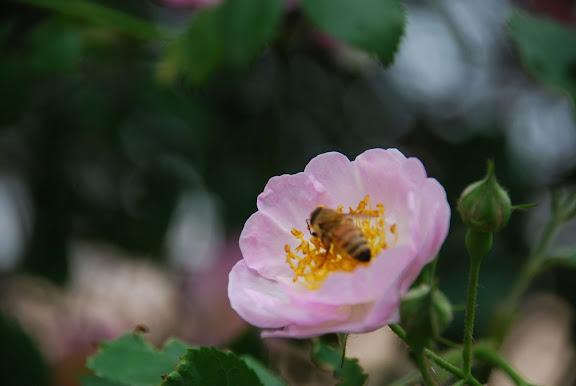 Qingdao - Badaguan - la rose et l'abeille