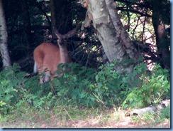 7400 Restoule Provincial Park - deer seen when walking back to campsite
