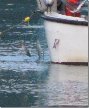 Netting Salmon 8-16-2011 7-43-51 PM 1644x1997