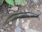 The paths above Old Manali are littered with giant slugs