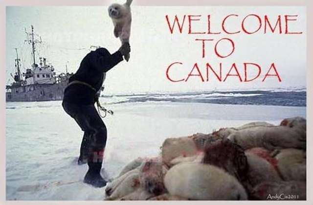 Welcome to Canada: A Canadian fisherman kills a baby harp seal by slamming its head on the ice during the 2011 slaughter. Photo: AndyC via piaberrend.org