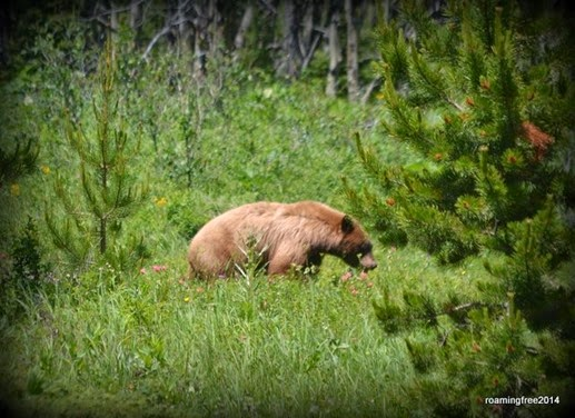 Grizzly Bear -- really close!