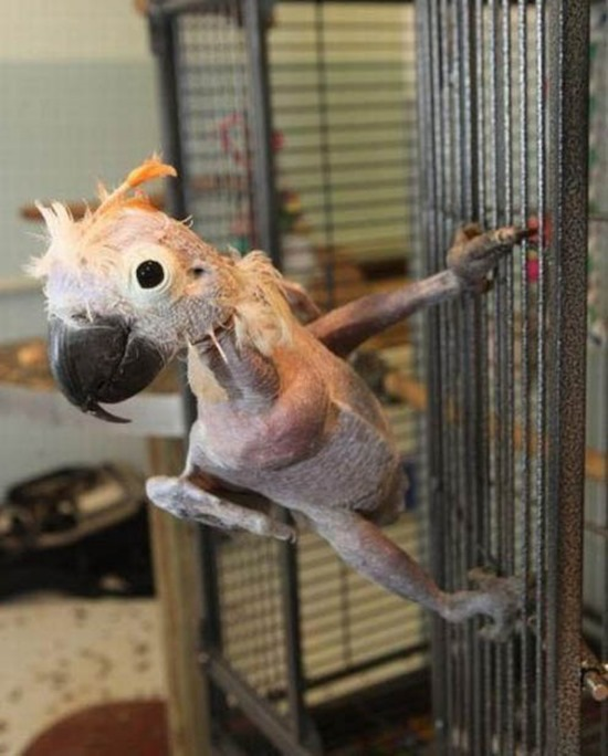 hairless cute parrot