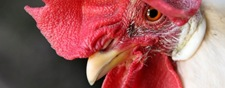cropped-red_birds_chickens_roosters_1920x1080_wallpaper_art-hd-wallpaper_1280x1024_www-wallpaperhi-com