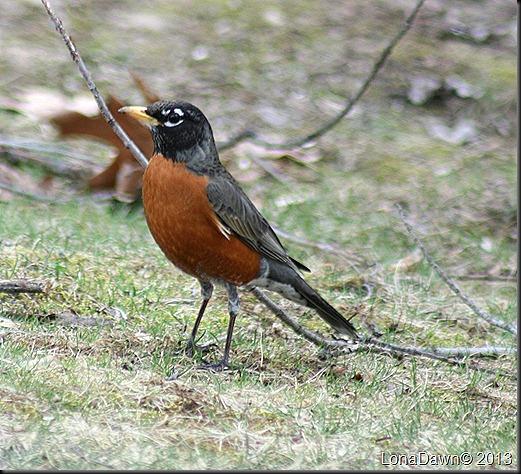 Spring_Robin
