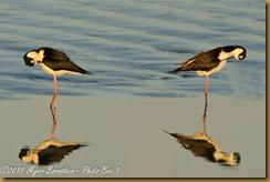 lr Back-necked Stilt_ROT2445 Bombay Hook  May 08, 2011 NIKON D3S