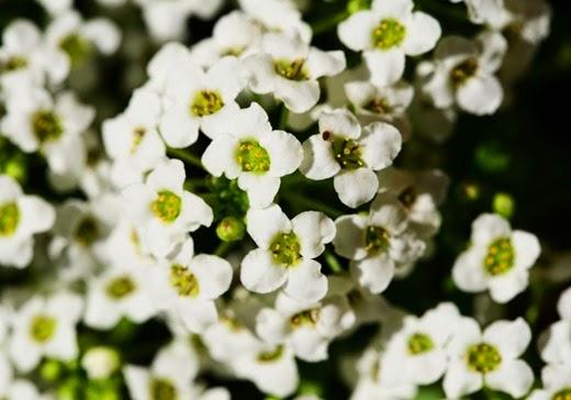 Little Dorrit - Alyssum