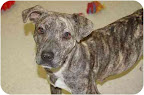 Harlow Ladue, MO. See link to info. re: this pooch at end of postedit