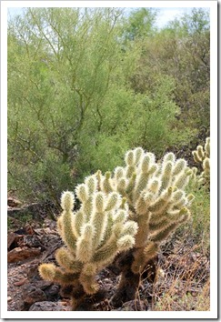 120728_ArizonaSonoraDesertMuseum_Cylindropuntia-bigelovii_01