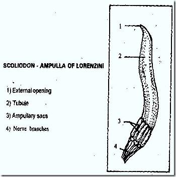 AMPULIAE- LORENZINI