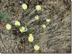 Desert Dandelions 4-21-2013 9-36-45 AM 1951x2671