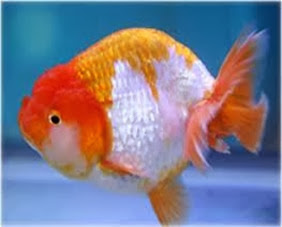 Amazing Pictures of Animals, Photo, Nature, Incredibel, Funny, Zoo, Ranchu, Goldfish, Alex (15)