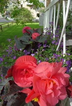 053 korr Begonia tuberosa Bacopa Daniel Grankvist