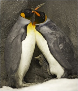 pinguins gay