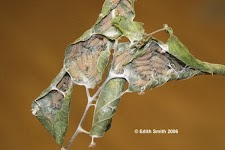 tawny.hibernate.nest.larvae.6.jpg