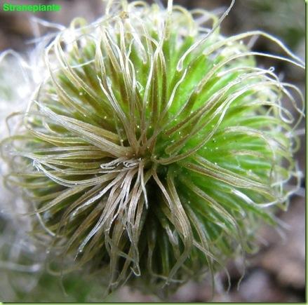 Stapelianthus pilosus apice